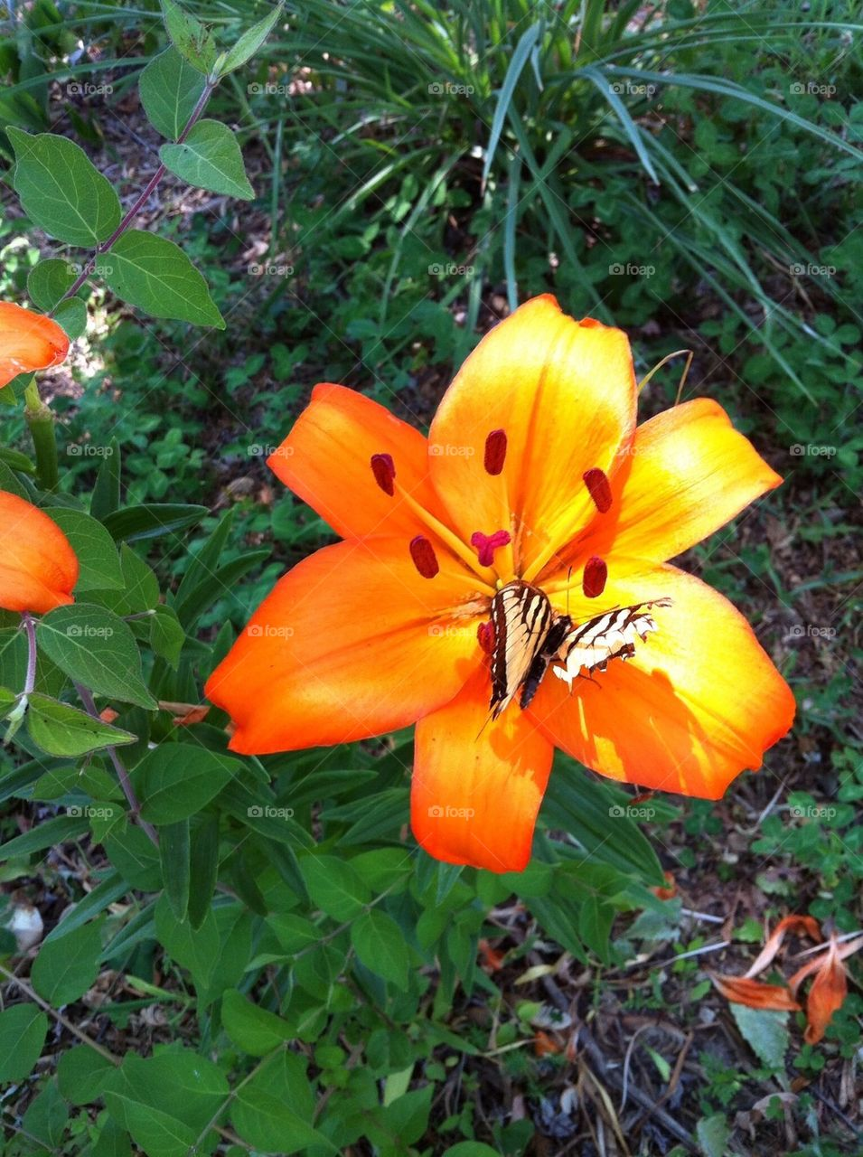 Tiger Lily with Butterfly