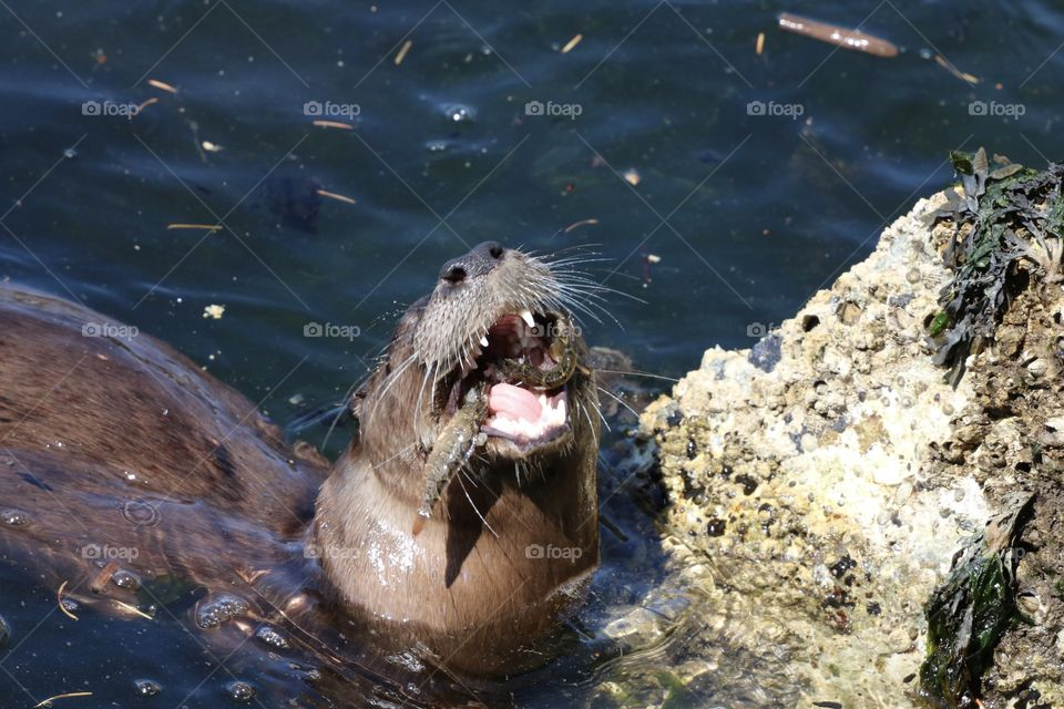 Otter with mouth wide open showing a  fish that he had just caught by diving into the ocean .. bon apetit😉