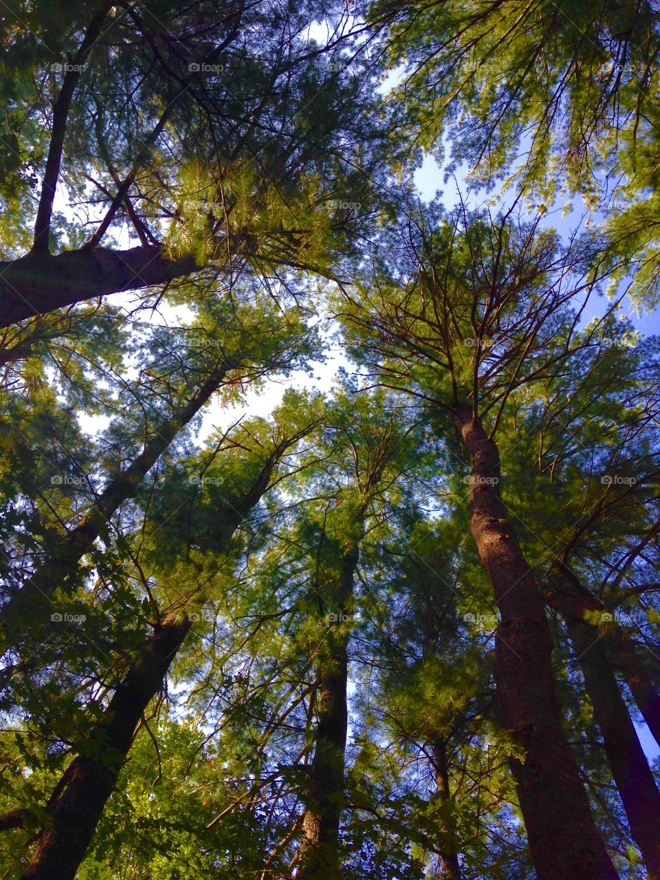 Our Pine Grove Canopy. Photo taken Looking Up from the center of our pine grove. Sun was shining through, very pretty!
