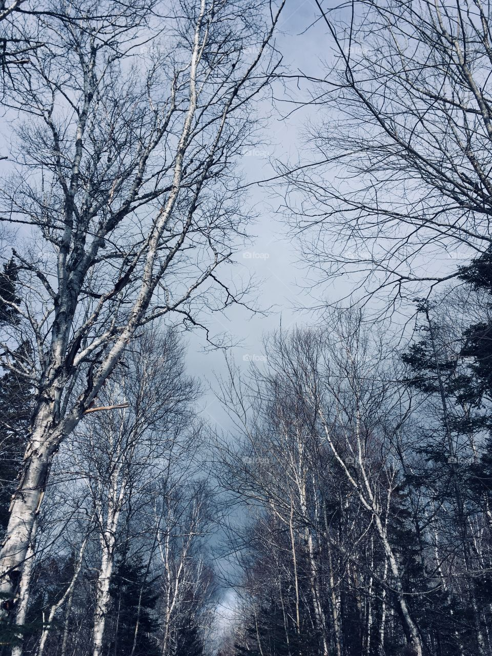 Tall white birch trees without leaves in the forest and sky in winter.