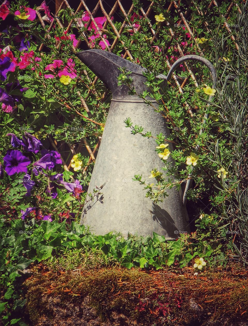 A large metal milking jug sitting on a stone wall and surrounded by overgrown vines and plants. A jug disappearing in the undergrowth.