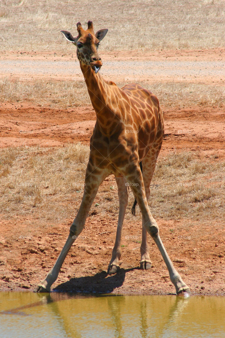 Close-up of giraffe standing near lake
