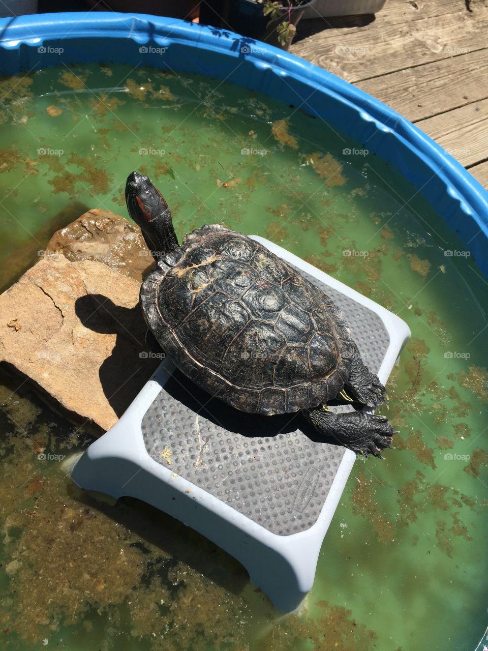 Pet turtle sunning