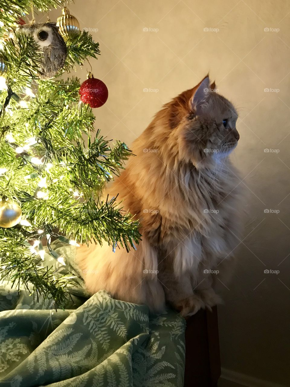 Leo my red head cat under the Christmas tree