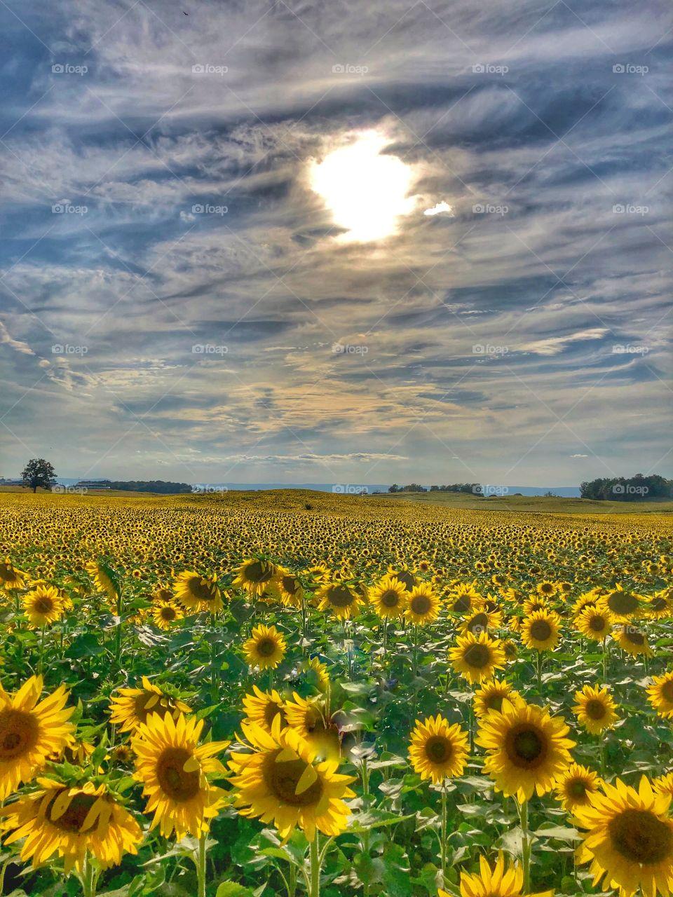 Sunflower farm sun shining September afternoon