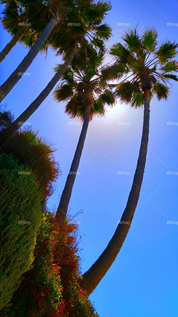 Palm Trees on a Sunny Day. Very tall palm trees on a sunny day at Heisler park