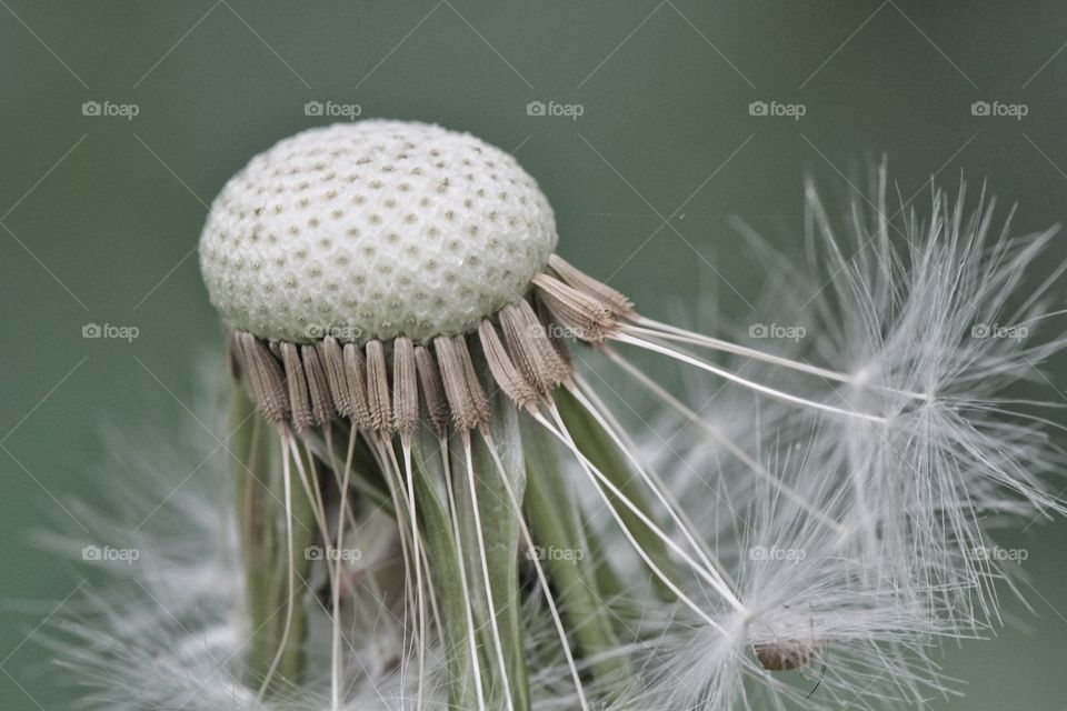 Close-up of a weathered dandelion flower