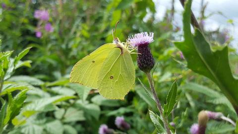 Yellow green brimstone butterfly on purple flower
