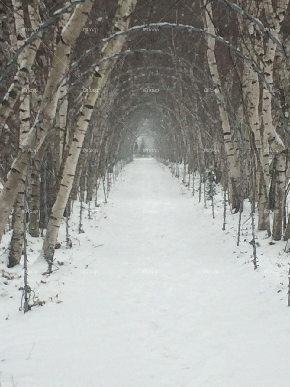 Birch tree allee