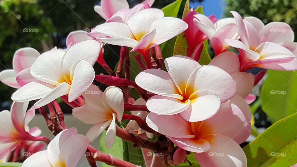 Plumeria with shades of red