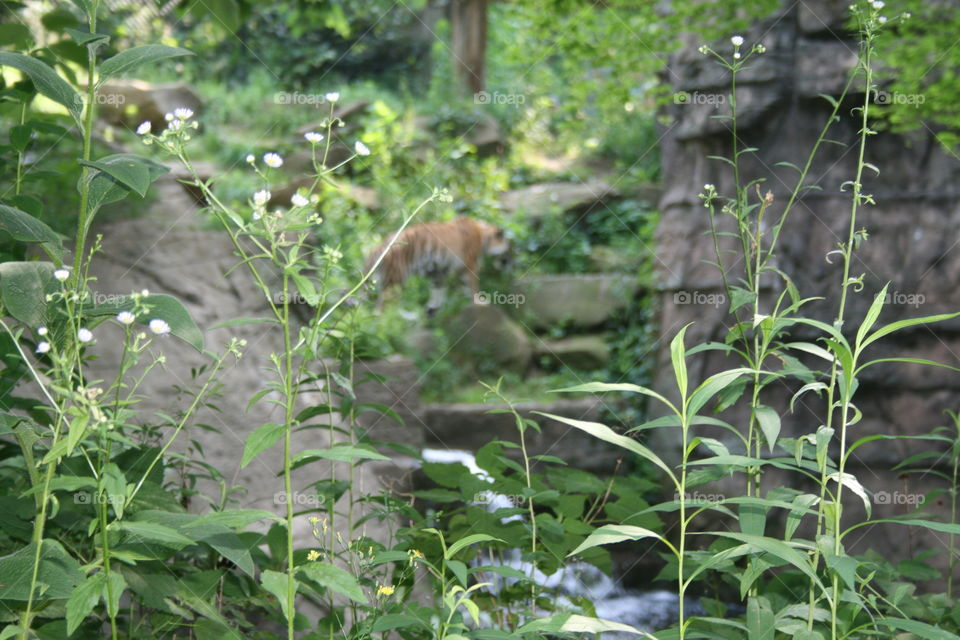 Unfocused tiger