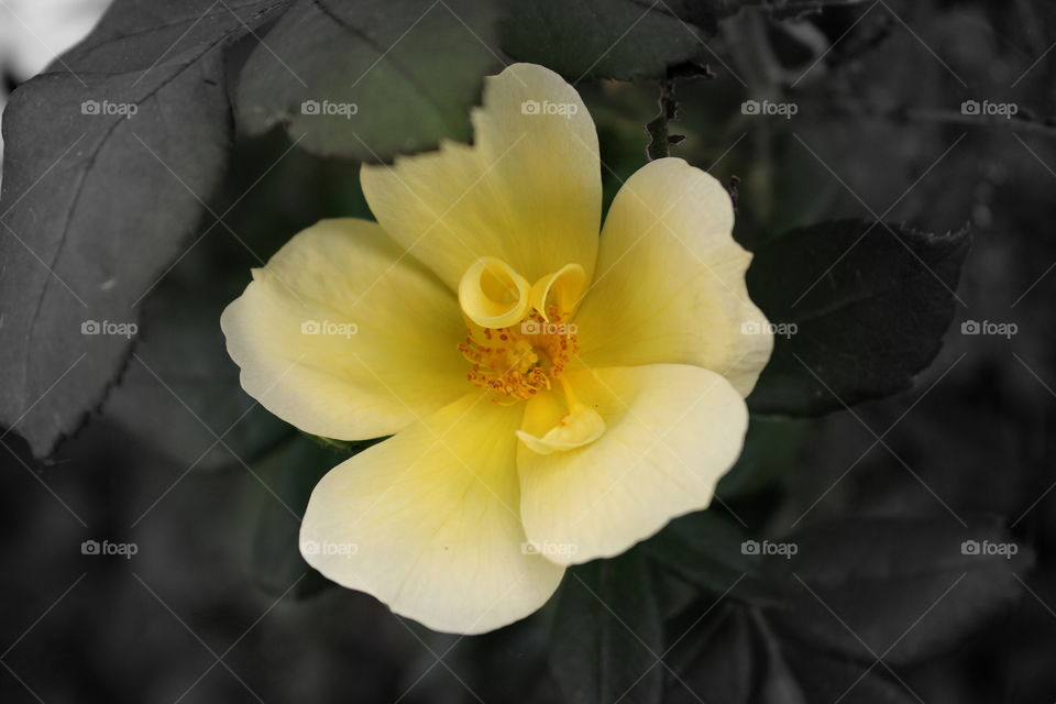 A pretty yellow rose with a black background