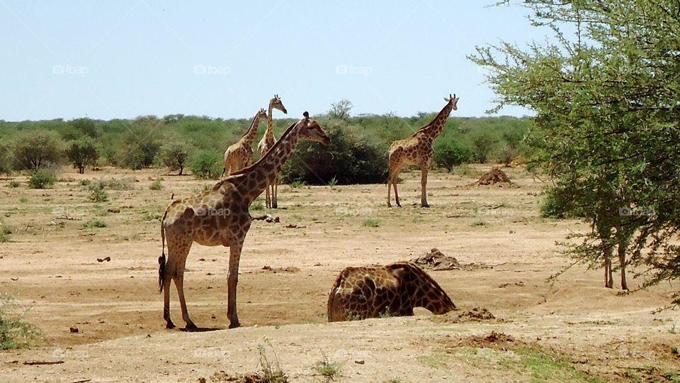 Giraffes in nature