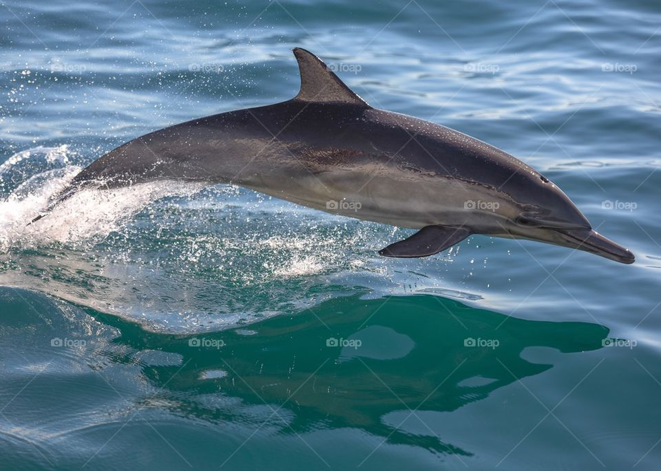 Bow Riding Bottle Nose Dolphin