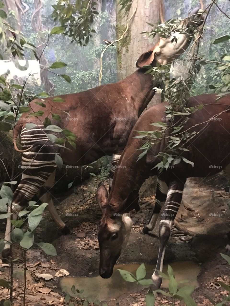 Taxidermy okapi at the Smithsonian Museum of Natural History in New York City.