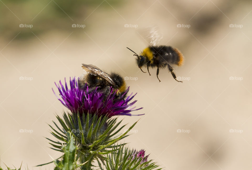 Two bees meeting at thristle flower
