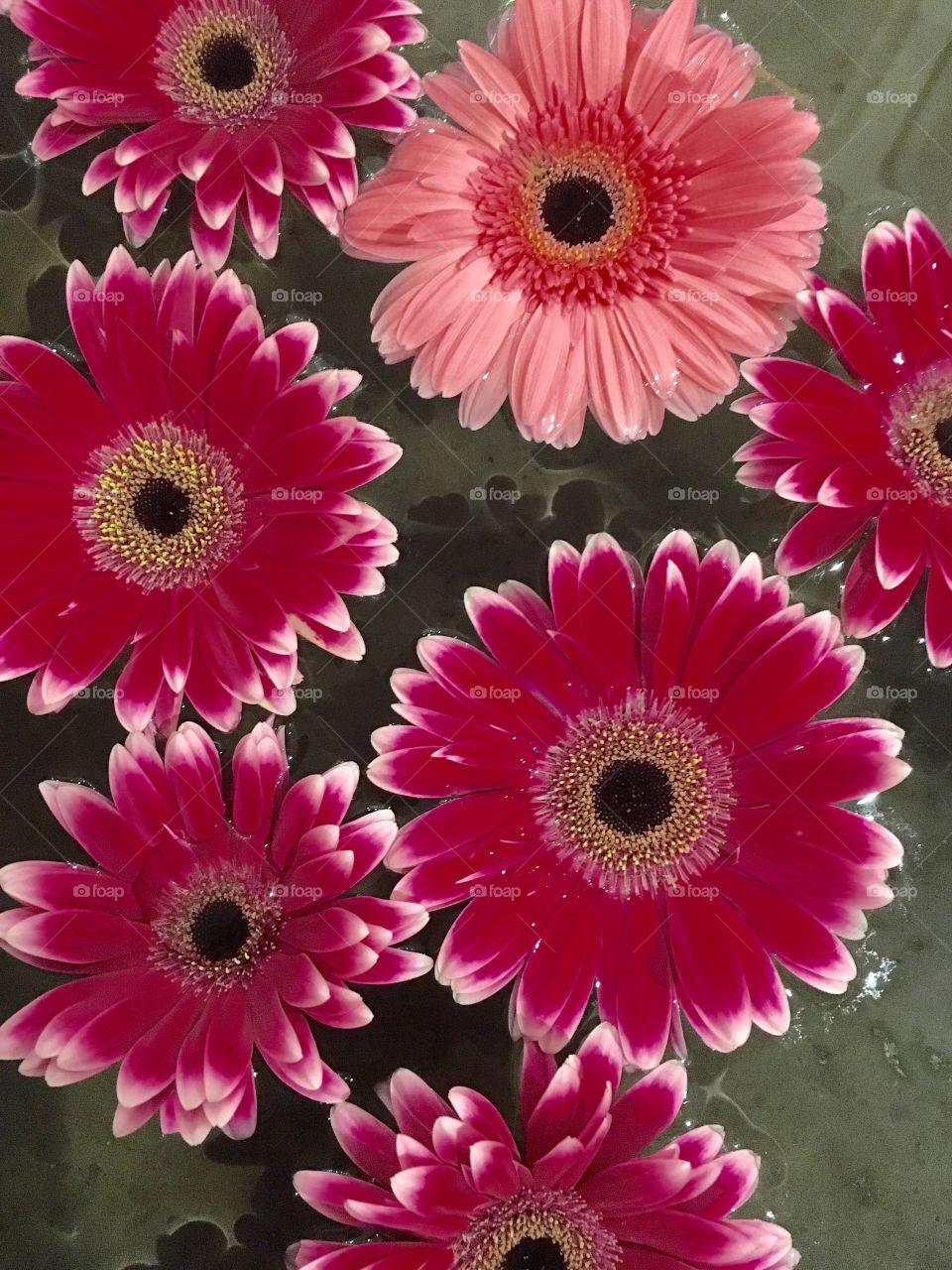 Flowers red daisy