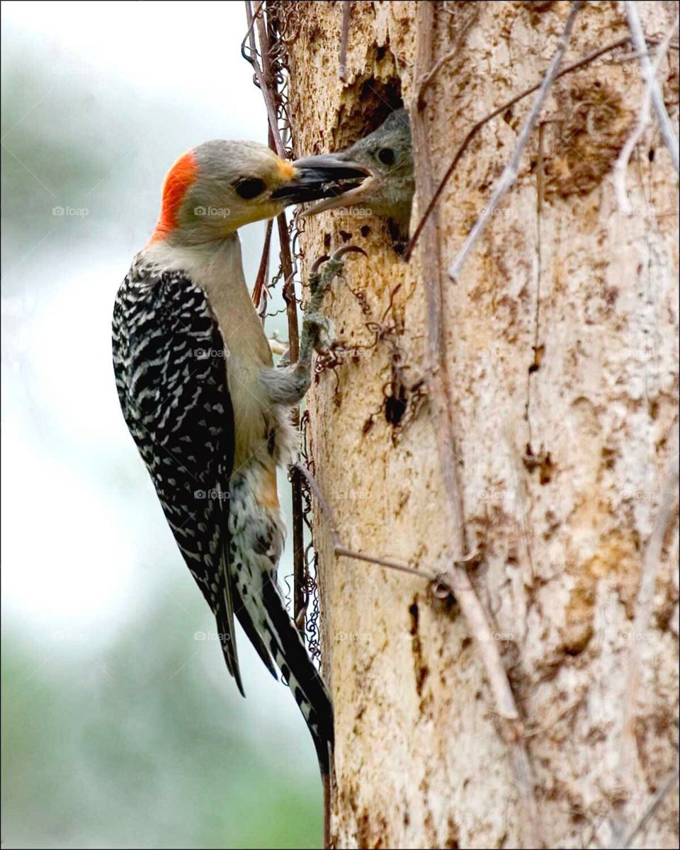 Red Bellied Woodpecker mother feeding her adorable little chick.