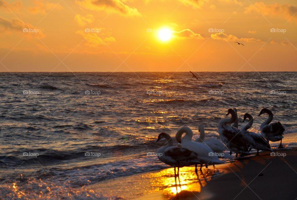 Sunrise with swans