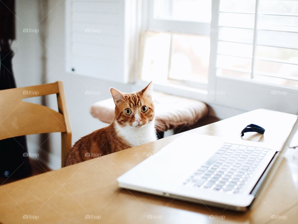 Cat sits down to do some work on the computer